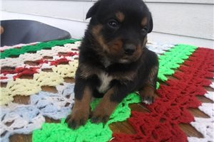 Troy | Puppy at 6 weeks of age for sale