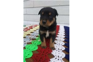 Torey | Puppy at 6 weeks of age for sale