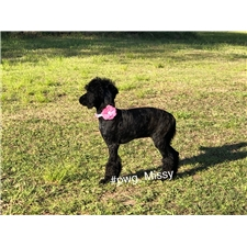 View full profile for Poodles Of Willow Glade