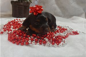Picture of a Dorkie Puppy