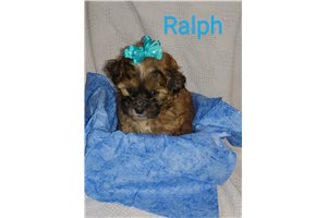 Shih Poo Shihpoos for sale