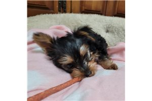 Rosey  - Silky Terrier for sale