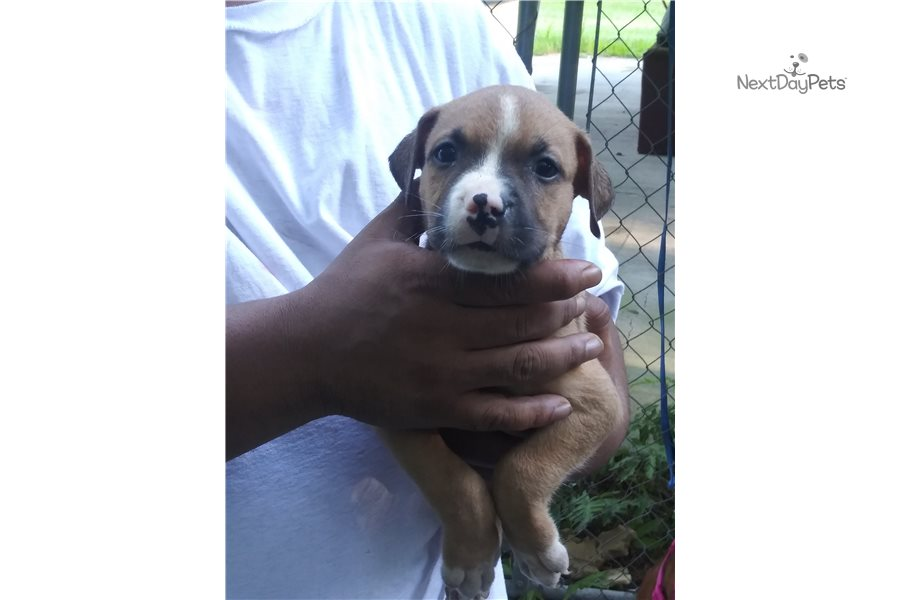 Bj: American Pit Bull Terrier puppy for sale near ...