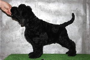 Black Russian Terriers for sale