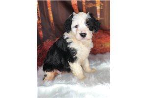 Mini Bernedoodles for sale