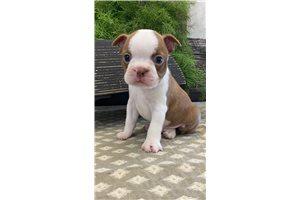 Durango - Boston Terrier for sale