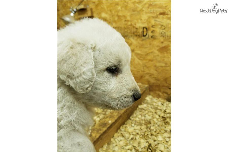 Blue Boy Kuvasz Puppy For Sale Near Pueblo Colorado 0618442a