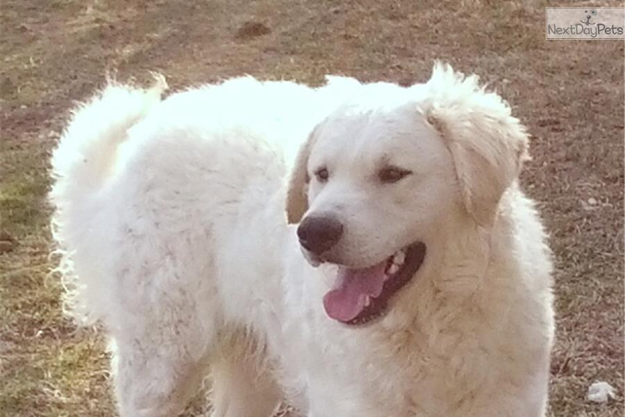 Puppies For Sale From Glacier Creek Kuvasz Member Since July 2005