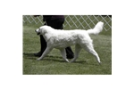 Picture of Beautiful Adult Hungarian Kuvasz