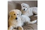 Picture of Hungarian Kuvasz Puppies! September