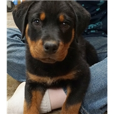 View full profile for Spartan Rottweilers