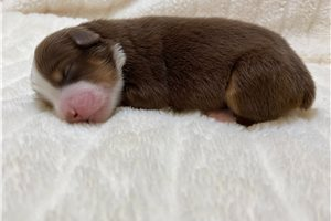 Phoebe - Miniature Australian Shepherd for sale