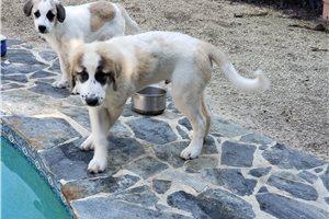 Maremma Sheepdogs for sale