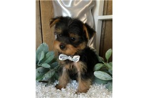 Yorkshire Terrier Yorkie Puppies For Sale From Missouri Breeders