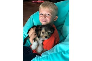Featured Breeder of Yorkiepoo Yorkie Poos with Puppies For Sale