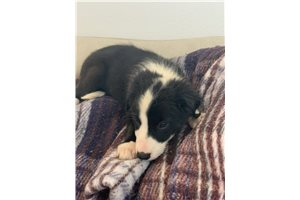 Border Collie Puppies For Sale From Reputable Dog Breeders