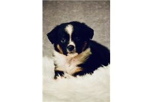 Sarge - Miniature Australian Shepherd for sale