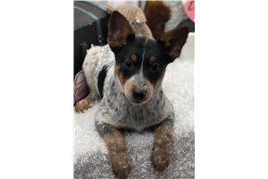 Australian Cattle Dog Blue Heelers for sale