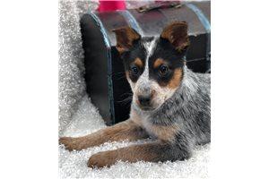 Jewel - Australian Cattle Dog/Blue Heeler for sale
