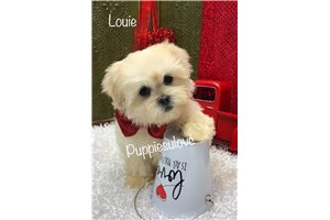 Shilo - Shih-Poo - Shihpoo for sale