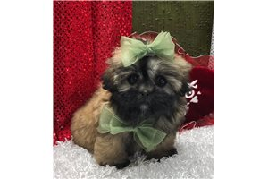 Angel - Shih-Poo - Shihpoo for sale