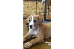 Great Danes for sale