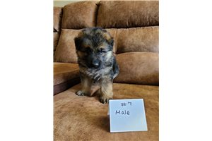 German Shepherd Puppies For Sale From Binghamton New York Breeders