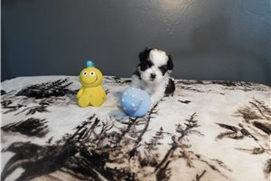Molly - Shih Tzu for sale