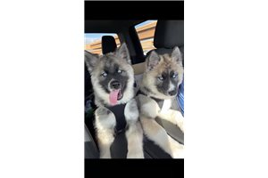 Koda | Puppy at 36 weeks of age for sale