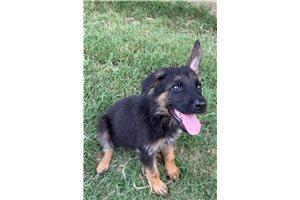 Scotty - German Shepherd for sale
