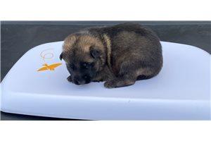 Koda - German Shepherd for sale