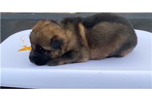 Juju - German Shepherd for sale