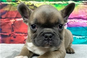 French Bulldog Puppies For Sale Pawrade Com