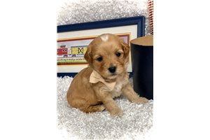 King - Shih-Poo - Shihpoo for sale