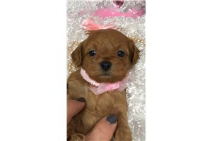 Strawberry - Shih-Poo - Shihpoo for sale