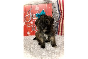 Queen - Shih-Poo - Shihpoo for sale