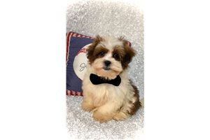 Sparky - Shih-Poo - Shihpoo for sale