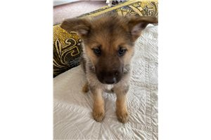 Idaho - German Shepherd for sale