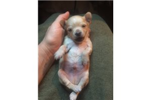 Biscuit - Chihuahua for sale