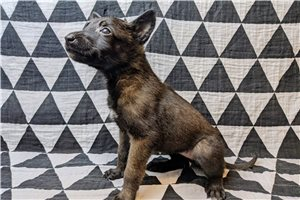 Nala AKC GCS - Belgian Malinois for sale