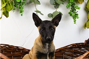 Belle AKC GCS - Belgian Malinois for sale
