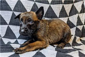 Lucky AKC GCS - Belgian Malinois for sale