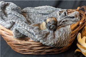 Ariel AKC GCS - Belgian Malinois for sale