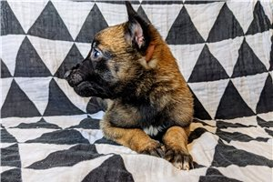 Raven AKC GCS - Belgian Malinois for sale