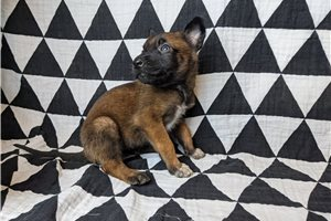 Rainy AKC GSC - Belgian Malinois for sale