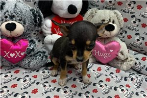Dixie - Chihuahua for sale