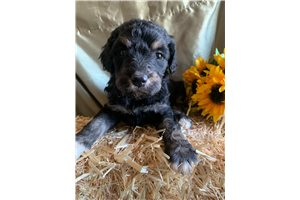 Jacie | Puppy at 6 weeks of age for sale