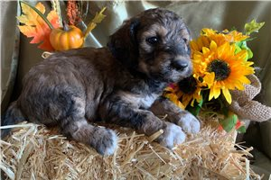Macy Mae | Puppy at 6 weeks of age for sale