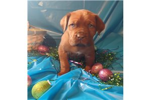Star | Puppy at 10 weeks of age for sale