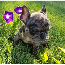 View full profile for Crystalline French Bulldogs